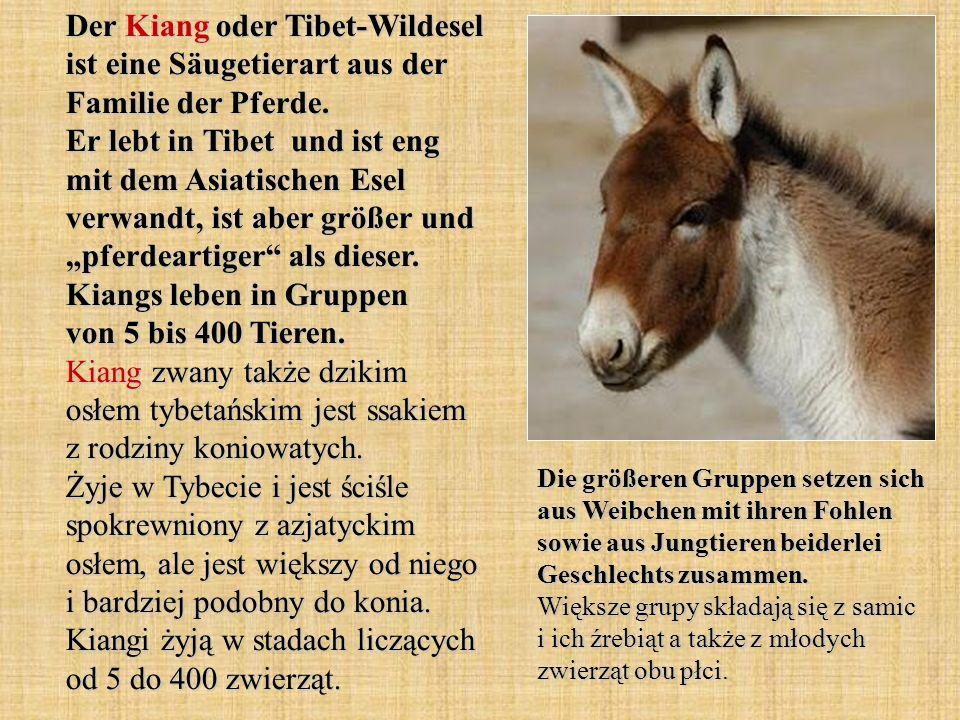 Der Kiang oder Tibet-Wildesel ist eine Säugetierart aus der Familie der Pferde.