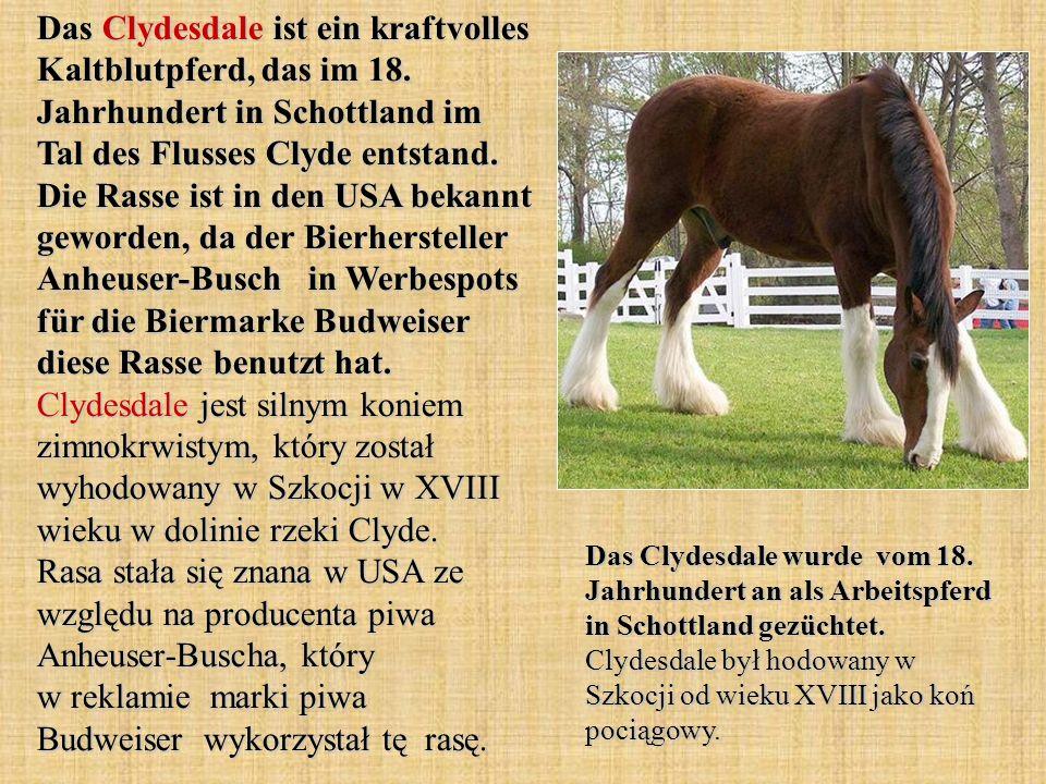 Das Clydesdale ist ein kraftvolles Kaltblutpferd, das im 18.