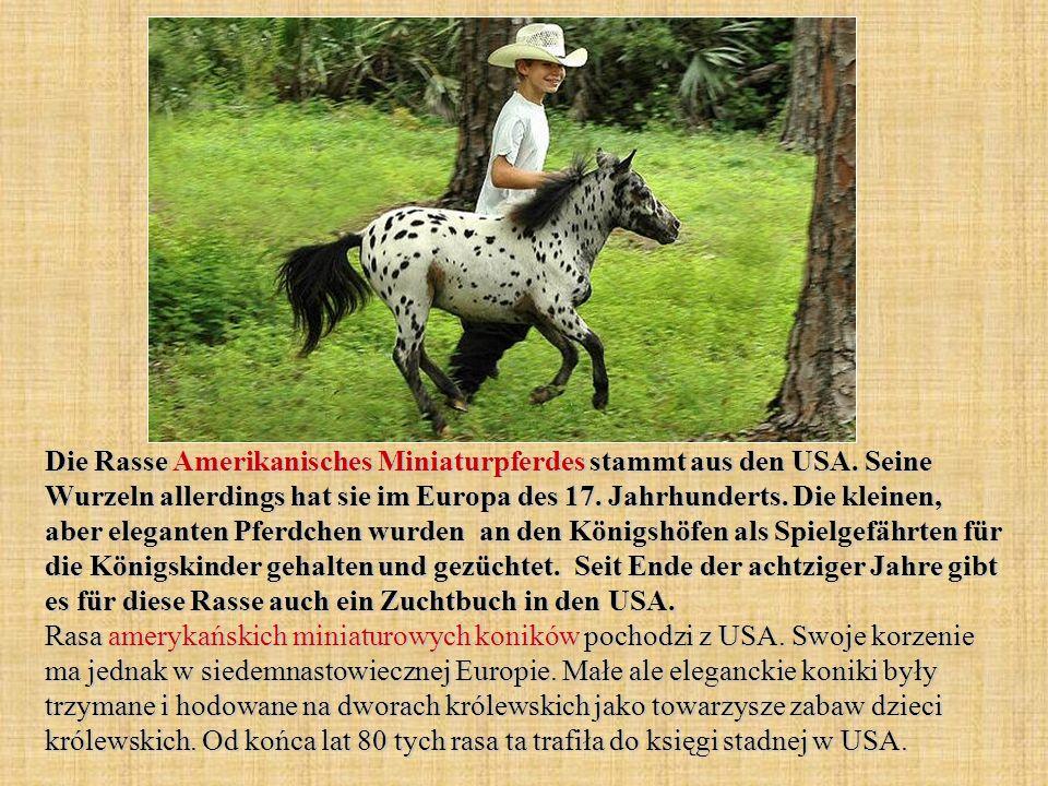 Die Rasse Amerikanisches Miniaturpferdes stammt aus den USA.