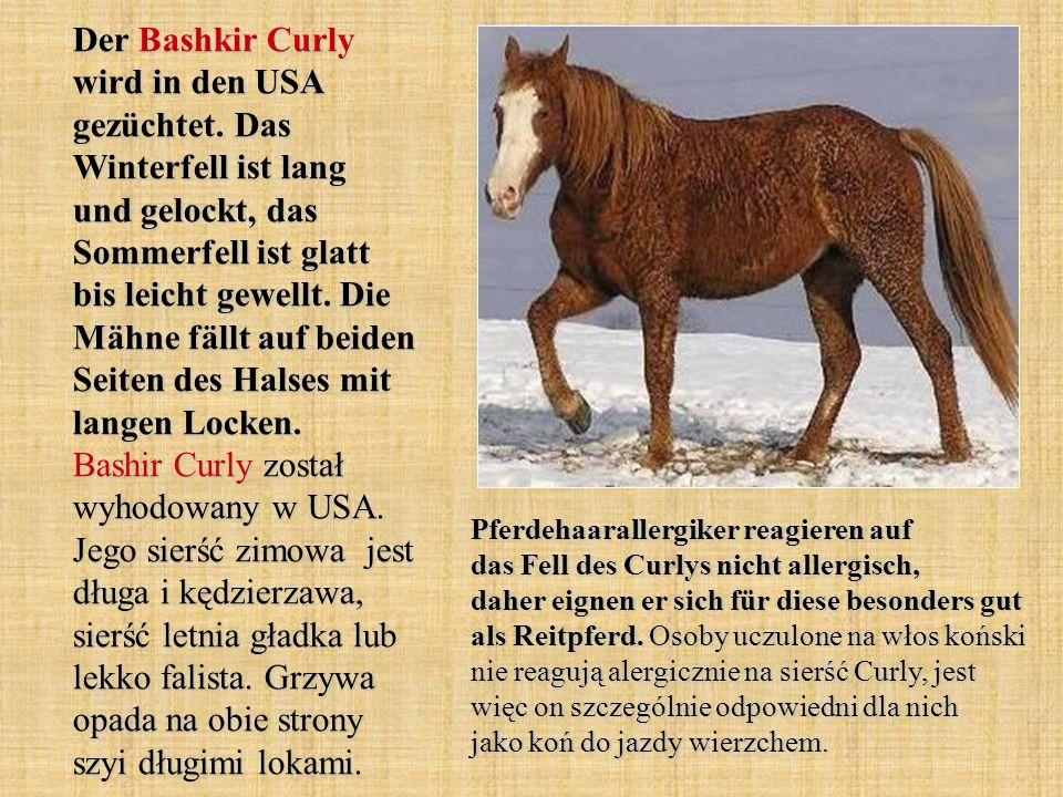 Der Bashkir Curly wird in den USA gezüchtet.