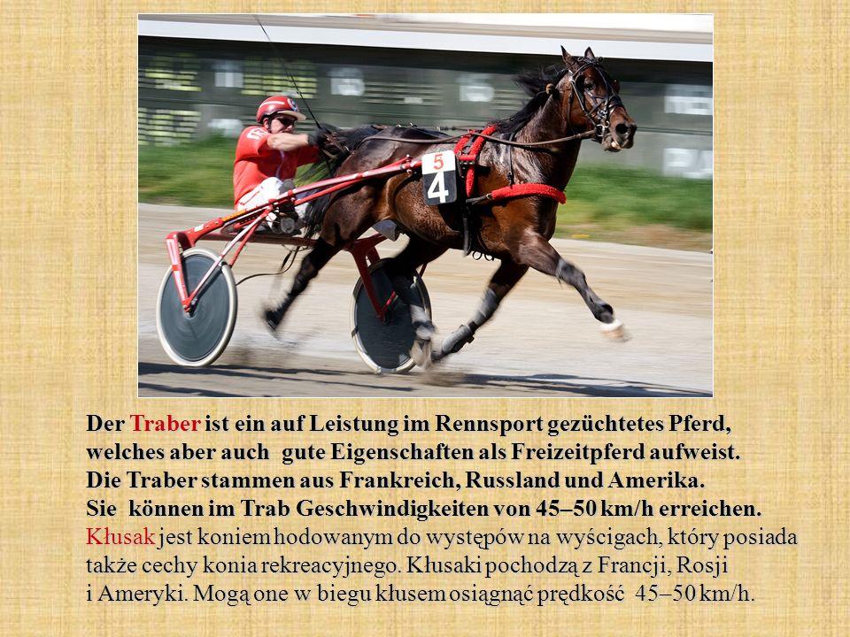 Der Traber ist ein auf Leistung im Rennsport gezüchtetes Pferd, welches aber auch gute Eigenschaften als Freizeitpferd aufweist.