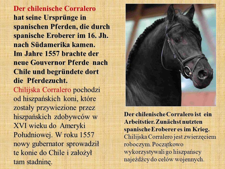 Der chilenische Corralero hat seine Ursprünge in spanischen Pferden, die durch spanische Eroberer im 16.