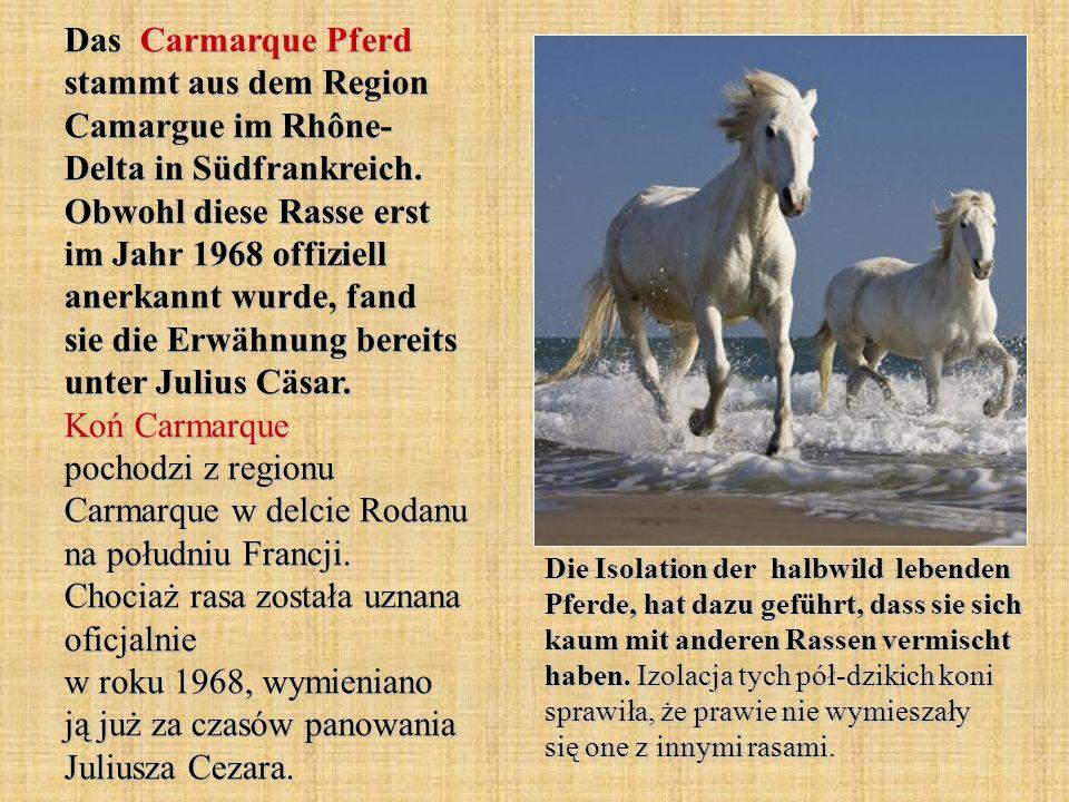 Das Carmarque Pferd stammt aus dem Region Camargue im Rhône- Delta in Südfrankreich.