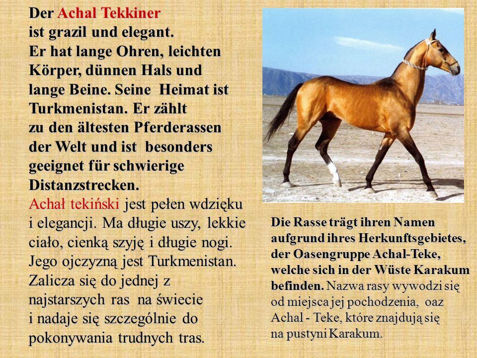 Der Achal Tekkiner ist grazil und elegant.