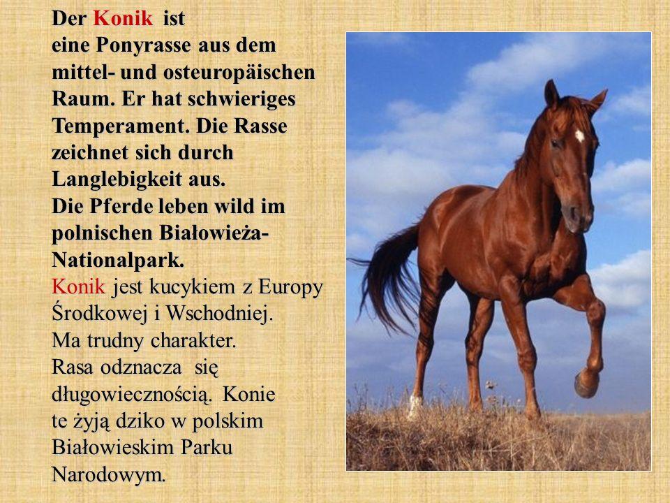 Der Konik ist eine Ponyrasse aus dem mittel- und osteuropäischen Raum.