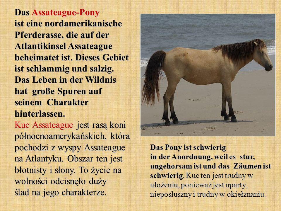 Das Assateague-Pony ist eine nordamerikanische Pferderasse, die auf der Atlantikinsel Assateague beheimatet ist.