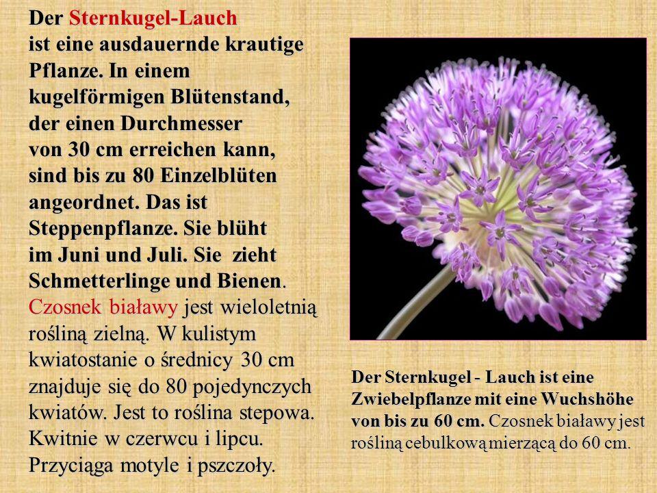 Der Sternkugel-Lauch ist eine ausdauernde krautige Pflanze. In einem kugelförmigen Blütenstand, der einen Durchmesser von 30 cm erreichen kann, sind b