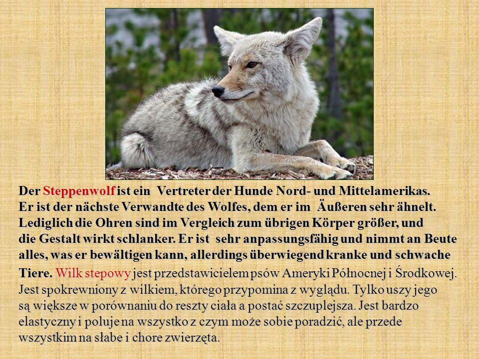 Der Steppenwolf ist ein Vertreter der Hunde Nord- und Mittelamerikas. Er ist der nächste Verwandte des Wolfes, dem er im Äußeren sehr ähnelt. Lediglic