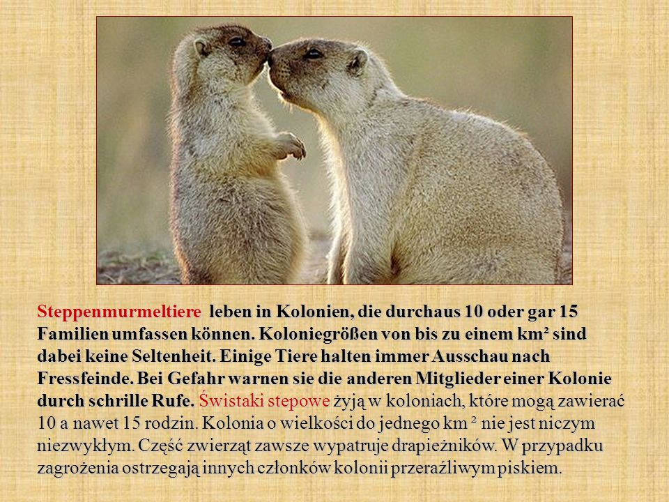 Steppenmurmeltiere leben in Kolonien, die durchaus 10 oder gar 15 Familien umfassen können. Koloniegrößen von bis zu einem km² sind dabei keine Selten