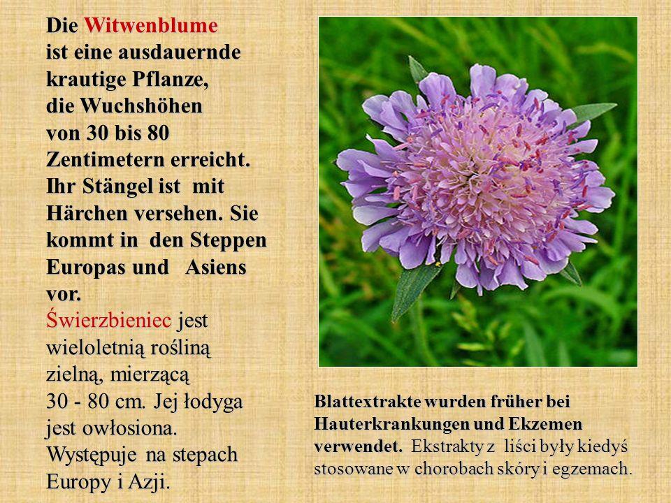 Die Witwenblume ist eine ausdauernde krautige Pflanze, die Wuchshöhen von 30 bis 80 Zentimetern erreicht. Ihr Stängel ist mit Härchen versehen. Sie ko