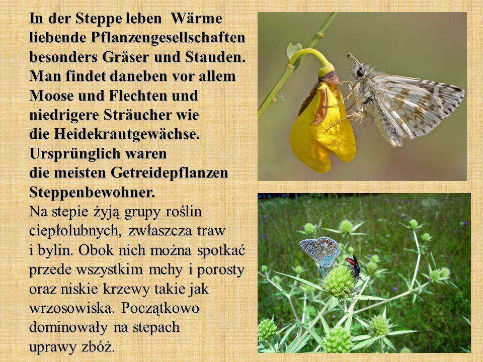 In der Steppe leben Wärme liebende Pflanzengesellschaften besonders Gräser und Stauden. Man findet daneben vor allem Moose und Flechten und niedrigere