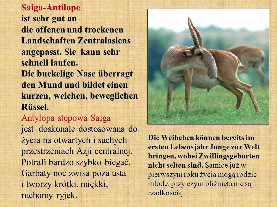 Saiga-Antilope ist sehr gut an die offenen und trockenen Landschaften Zentralasiens angepasst. Sie kann sehr schnell laufen. Die buckelige Nase überra
