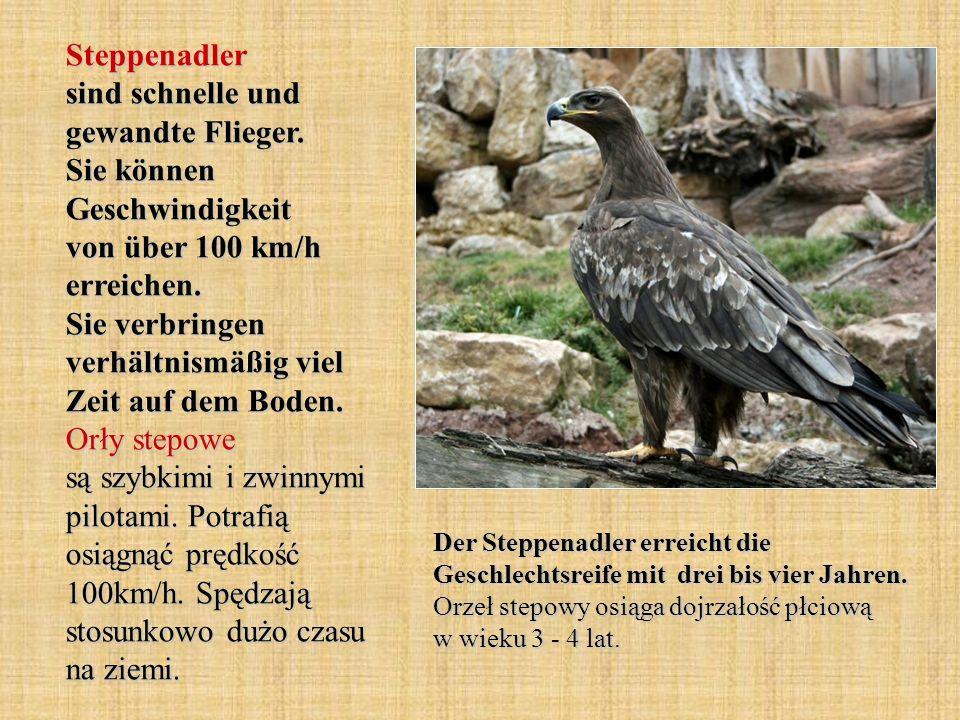 Steppenadler sind schnelle und gewandte Flieger. Sie können Geschwindigkeit von über 100 km/h erreichen. Sie verbringen verhältnismäßig viel Zeit auf