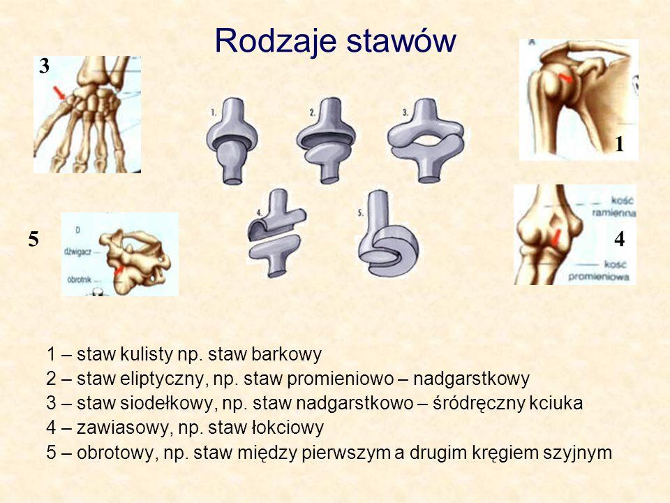 Rodzaje stawów 1 – staw kulisty np.staw barkowy 2 – staw eliptyczny, np.