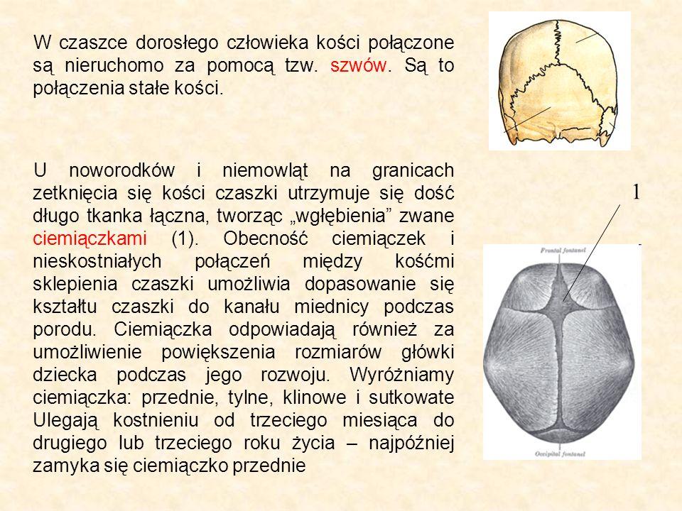 W czaszce dorosłego człowieka kości połączone są nieruchomo za pomocą tzw.