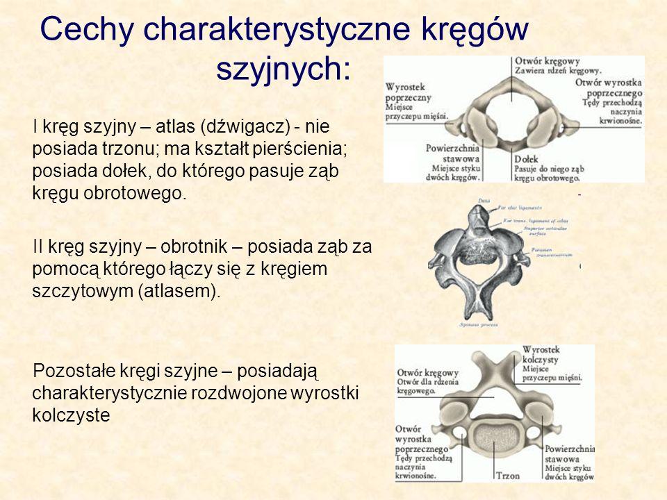 Cechy charakterystyczne kręgów szyjnych: I kręg szyjny – atlas (dźwigacz) - nie posiada trzonu; ma kształt pierścienia; posiada dołek, do którego pasuje ząb kręgu obrotowego.