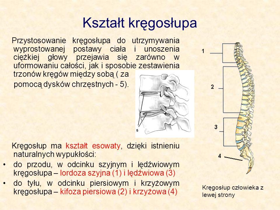 Kształt kręgosłupa Przystosowanie kręgosłupa do utrzymywania wyprostowanej postawy ciała i unoszenia ciężkiej głowy przejawia się zarówno w uformowaniu całości, jak i sposobie zestawienia trzonów kręgów między sobą ( za pomocą dysków chrzęstnych - 5).