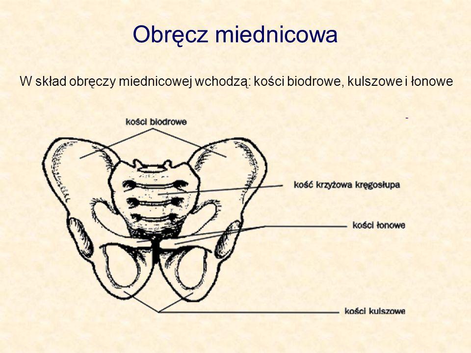 Obręcz miednicowa W skład obręczy miednicowej wchodzą: kości biodrowe, kulszowe i łonowe