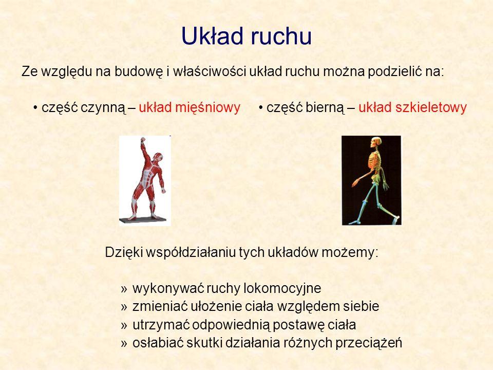 Układ ruchu Ze względu na budowę i właściwości układ ruchu można podzielić na: część czynną – układ mięśniowy część bierną – układ szkieletowy Dzięki współdziałaniu tych układów możemy: »wykonywać ruchy lokomocyjne »zmieniać ułożenie ciała względem siebie »utrzymać odpowiednią postawę ciała »osłabiać skutki działania różnych przeciążeń