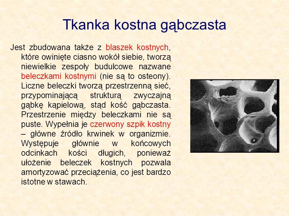 Tkanka kostna gąbczasta Jest zbudowana także z blaszek kostnych, które owinięte ciasno wokół siebie, tworzą niewielkie zespoły budulcowe nazwane beleczkami kostnymi (nie są to osteony).