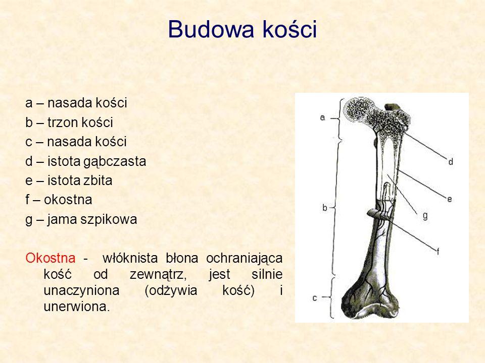 Wzrastanie kości na długość W kościach długich organizmów młodocianych między nasadą a trzonem występuje warstwa chrząstki zwanej nasadową.