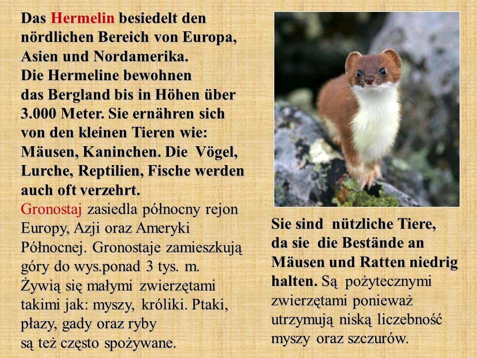 Das Hermelin besiedelt den nördlichen Bereich von Europa, Asien und Nordamerika. Die Hermeline bewohnen das Bergland bis in Höhen über 3.000 Meter. Si
