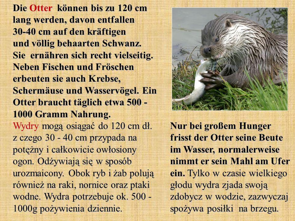 Die Otter können bis zu 120 cm lang werden, davon entfallen 30-40 cm auf den kräftigen und völlig behaarten Schwanz. Sie ernähren sich recht vielseiti