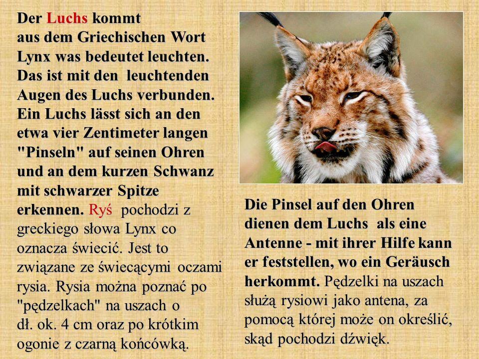 Der Luchs kommt aus dem Griechischen Wort Lynx was bedeutet leuchten. Das ist mit den leuchtenden Augen des Luchs verbunden. Ein Luchs lässt sich an d
