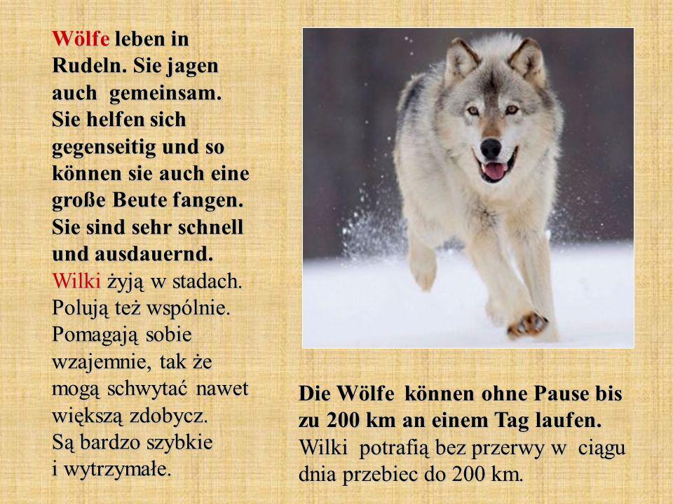 Wölfe leben in Rudeln. Sie jagen auch gemeinsam. Sie helfen sich gegenseitig und so können sie auch eine große Beute fangen. Sie sind sehr schnell und