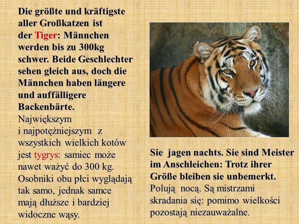 Die größte und kräftigste aller Großkatzen ist der Tiger: Männchen werden bis zu 300kg schwer. Beide Geschlechter sehen gleich aus, doch die Männchen