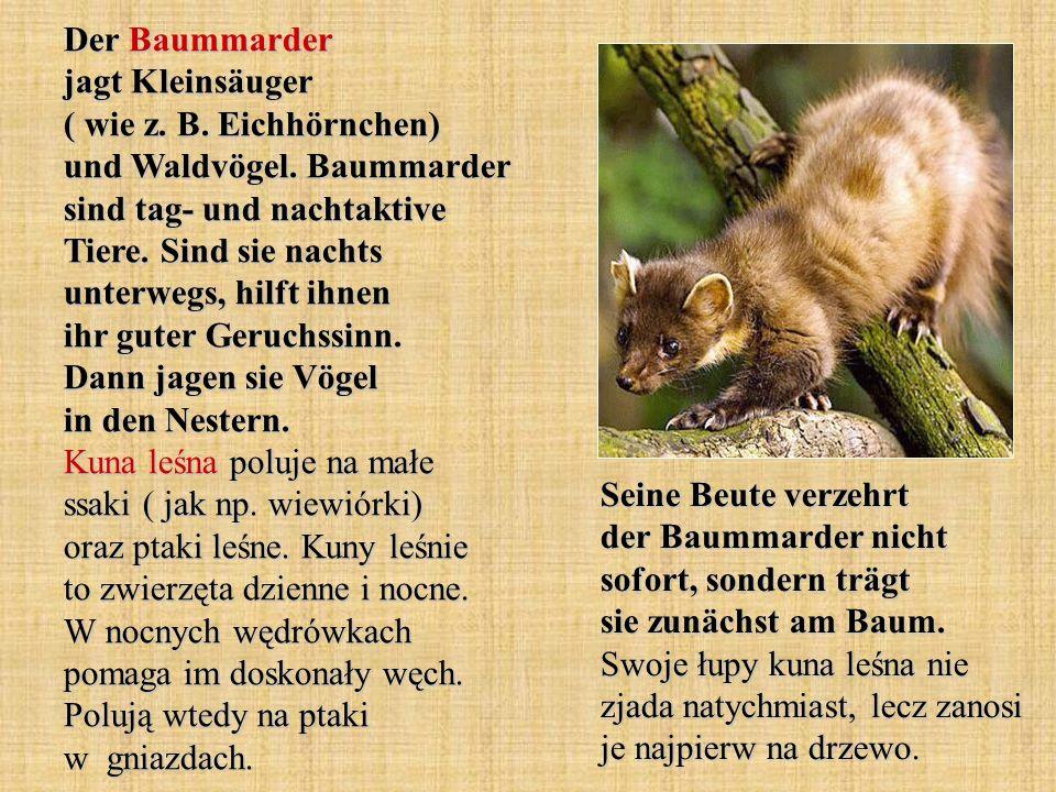Der Baummarder jagt Kleinsäuger ( wie z. B. Eichhörnchen) und Waldvögel. Baummarder sind tag- und nachtaktive Tiere. Sind sie nachts unterwegs, hilft