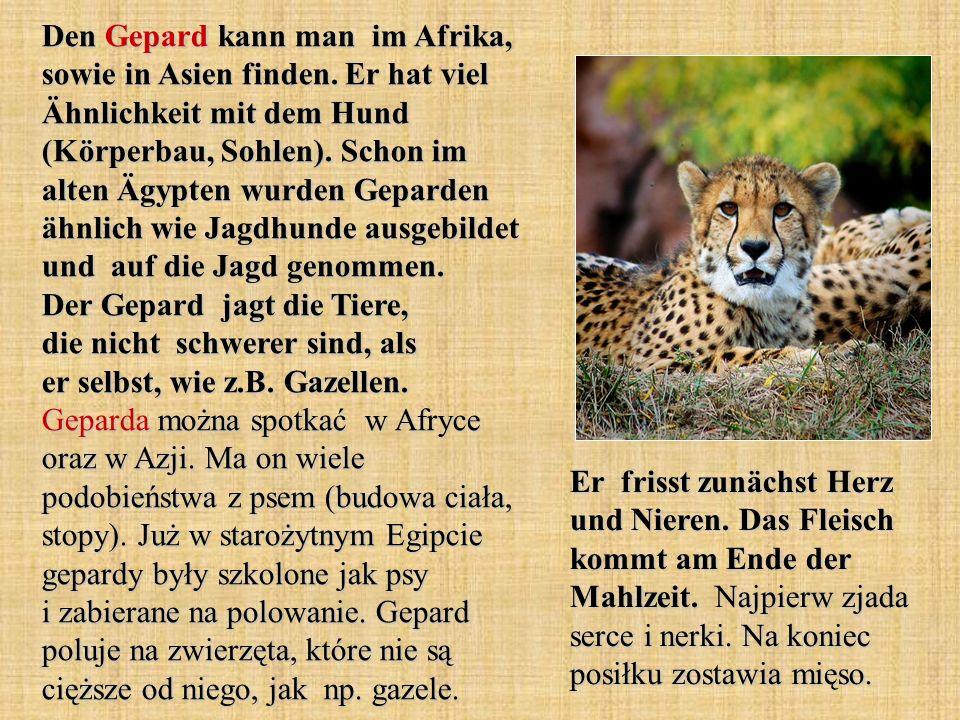 Den Gepard kann man im Afrika, sowie in Asien finden. Er hat viel Ähnlichkeit mit dem Hund (Körperbau, Sohlen). Schon im alten Ägypten wurden Geparden