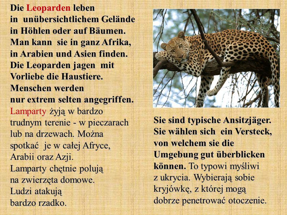 Die Leoparden leben in unübersichtlichem Gelände in Höhlen oder auf Bäumen. Man kann sie in ganz Afrika, in Arabien und Asien finden. Die Leoparden ja