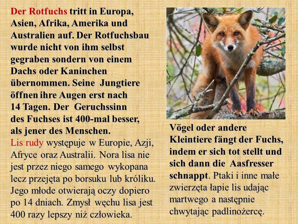 Der Rotfuchs tritt in Europa, Asien, Afrika, Amerika und Australien auf. Der Rotfuchsbau wurde nicht von ihm selbst gegraben sondern von einem Dachs o