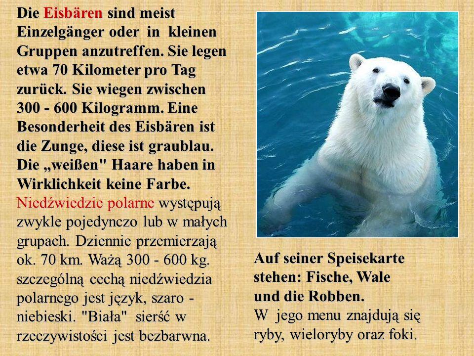 Die Eisbären sind meist Einzelgänger oder in kleinen Gruppen anzutreffen. Sie legen etwa 70 Kilometer pro Tag zurück. Sie wiegen zwischen 300 - 600 Ki