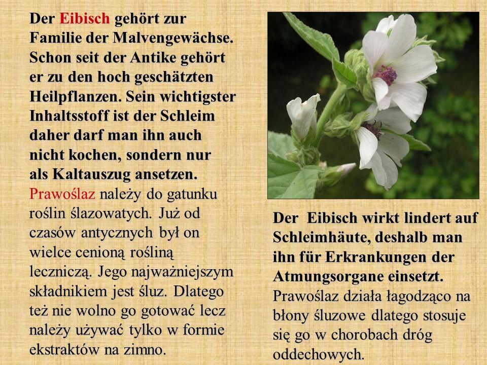 Der Eibisch gehört zur Familie der Malvengewächse. Schon seit der Antike gehört er zu den hoch geschätzten Heilpflanzen. Sein wichtigster Inhaltsstoff