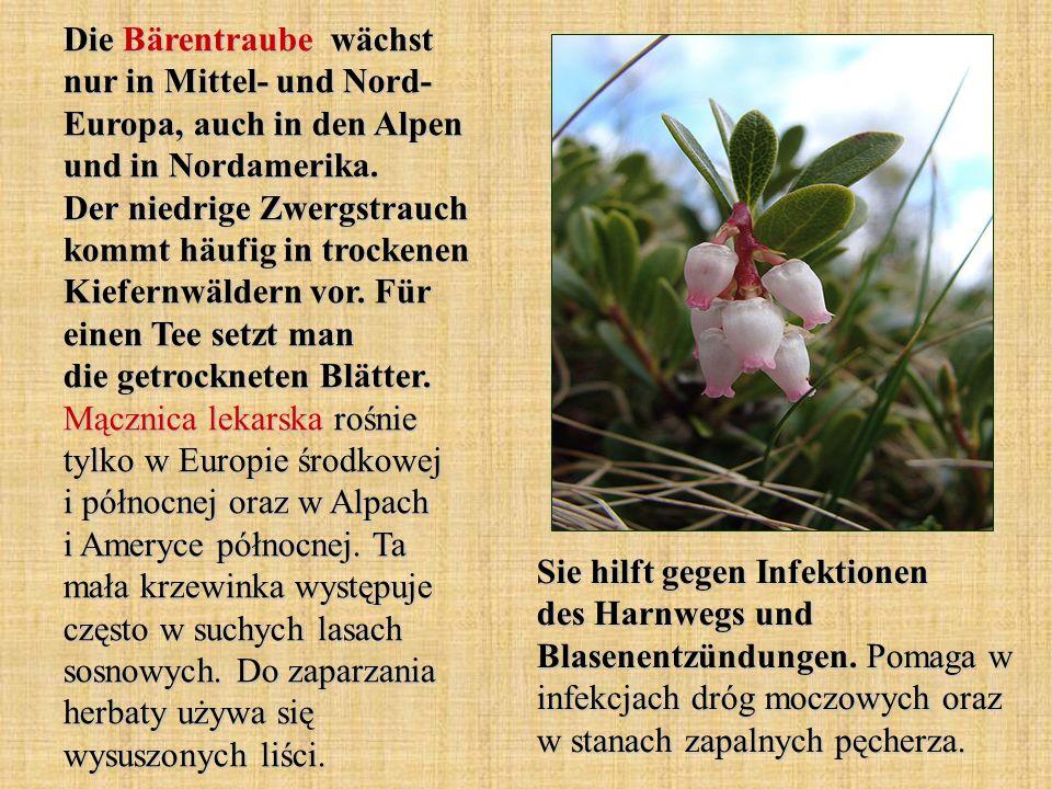 Die Bärentraube wächst nur in Mittel- und Nord- Europa, auch in den Alpen und in Nordamerika. Der niedrige Zwergstrauch kommt häufig in trockenen Kief