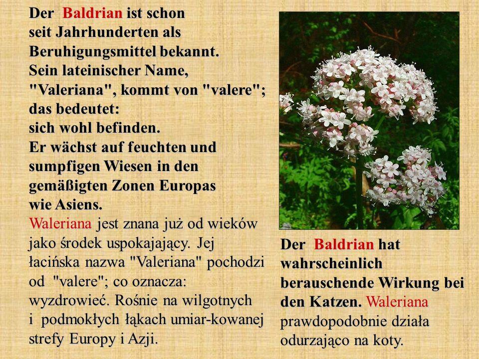 Der Baldrian ist schon seit Jahrhunderten als Beruhigungsmittel bekannt. Sein lateinischer Name,
