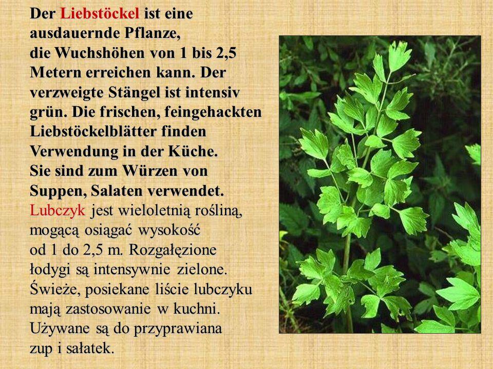 Der Liebstöckel ist eine ausdauernde Pflanze, die Wuchshöhen von 1 bis 2,5 Metern erreichen kann. Der verzweigte Stängel ist intensiv grün. Die frisch