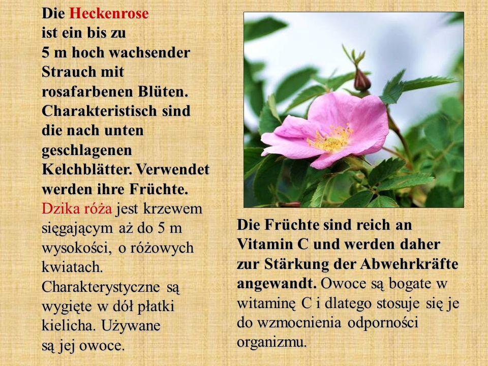 Die Heckenrose ist ein bis zu 5 m hoch wachsender Strauch mit rosafarbenen Blüten. Charakteristisch sind die nach unten geschlagenen Kelchblätter. Ver
