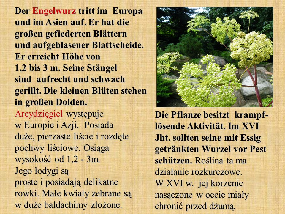 Der Engelwurz tritt im Europa und im Asien auf. Er hat die großen gefiederten Blättern und aufgeblasener Blattscheide. Er erreicht Höhe von 1,2 bis 3