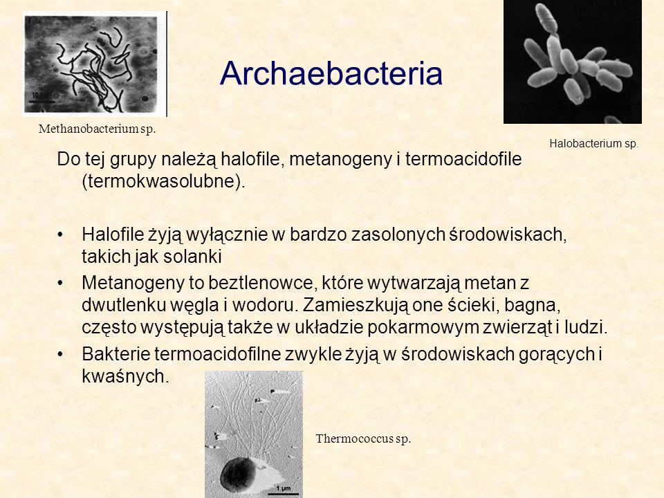 Archaebacteria Do tej grupy należą halofile, metanogeny i termoacidofile (termokwasolubne). Halofile żyją wyłącznie w bardzo zasolonych środowiskach,
