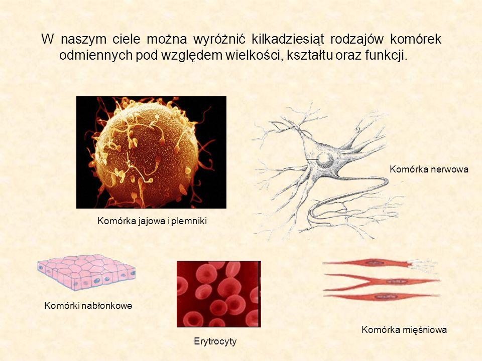 Struktury wewnętrzne komórki – organella komórkowe Wszystkie ludzkie komórki zawierają następujące struktury wewnątrzkomórkowe (organella komórkowe): błonę komórkową (5) cytoplazmę (3) siateczkę śródplazmatyczną gładką (8) i szorstką (2) aparat Golgiego (4) lizosomy (9) mitochondria (6) rybosomy (7) jądro komórkowe (1)