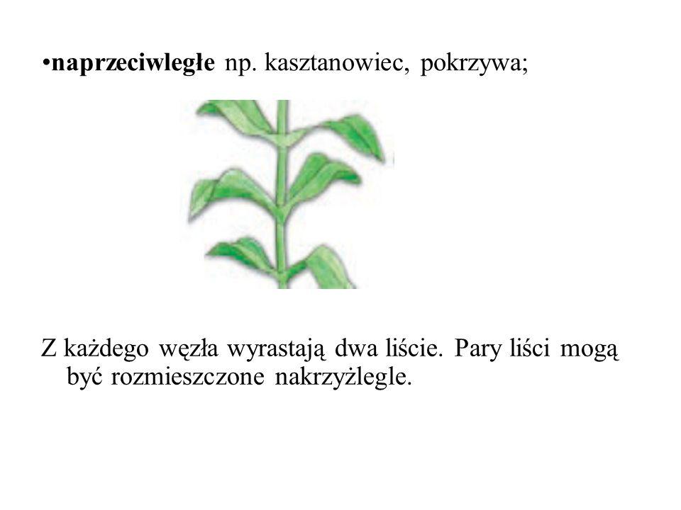 naprzeciwległe np.kasztanowiec, pokrzywa; Z każdego węzła wyrastają dwa liście.