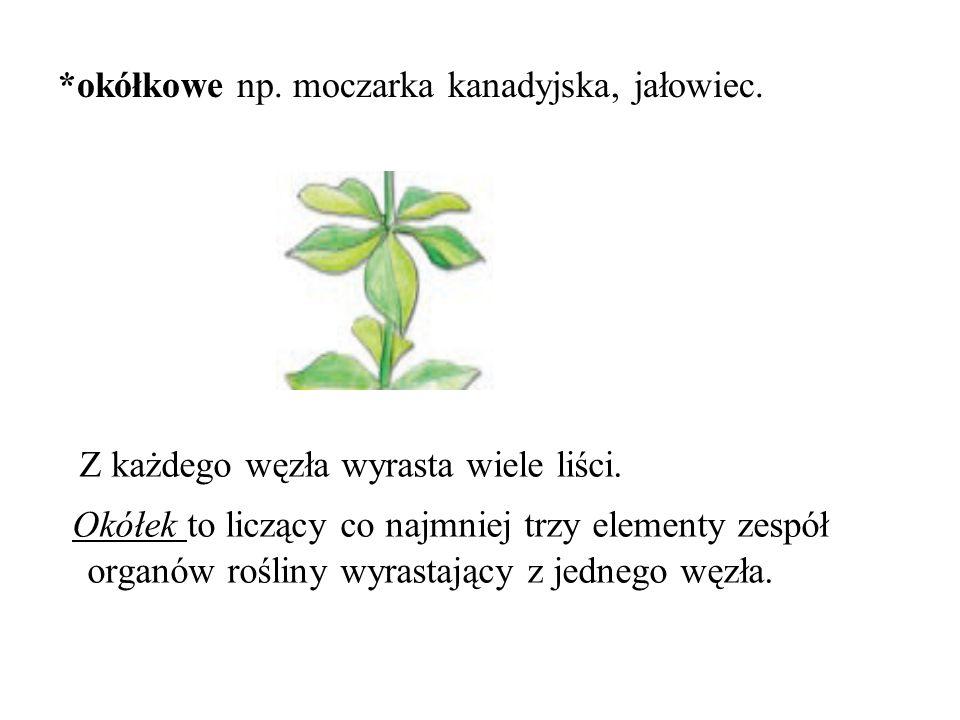 *okółkowe np.moczarka kanadyjska, jałowiec. Z każdego węzła wyrasta wiele liści.