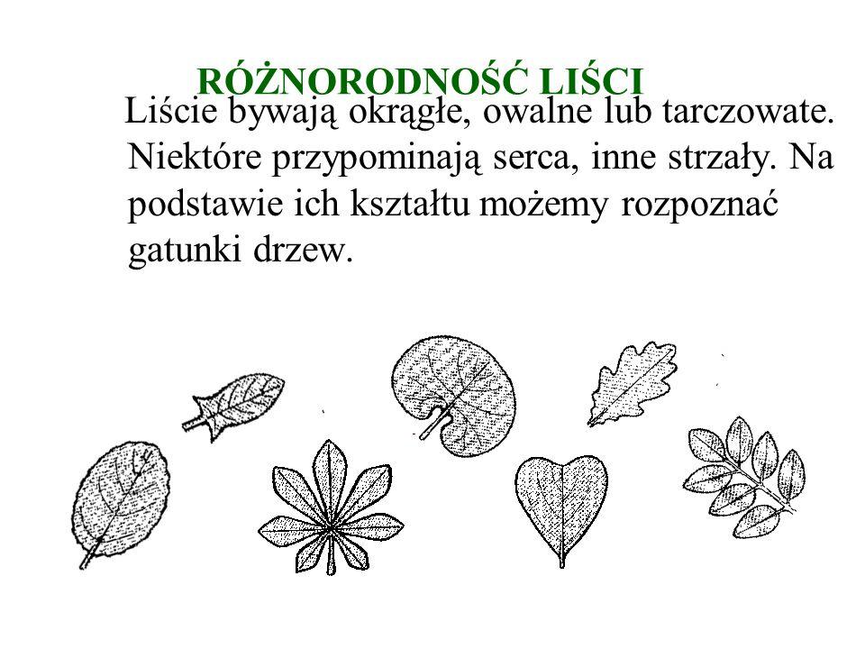 RÓŻNORODNOŚĆ LIŚCI Liście bywają okrągłe, owalne lub tarczowate.