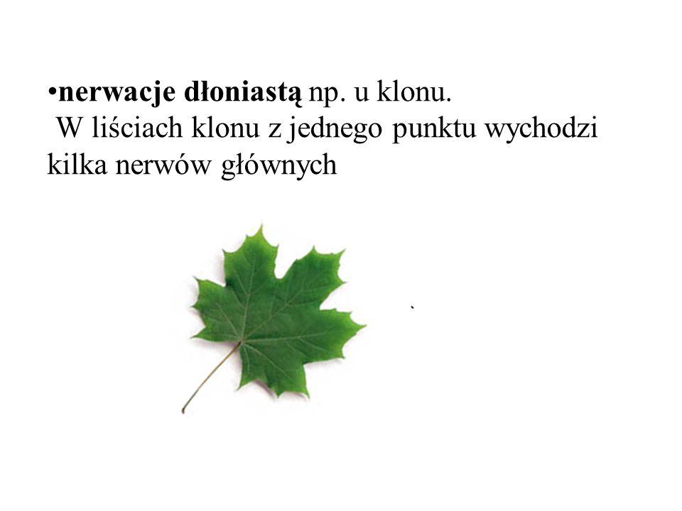 nerwacje dłoniastą np. u klonu. W liściach klonu z jednego punktu wychodzi kilka nerwów głównych