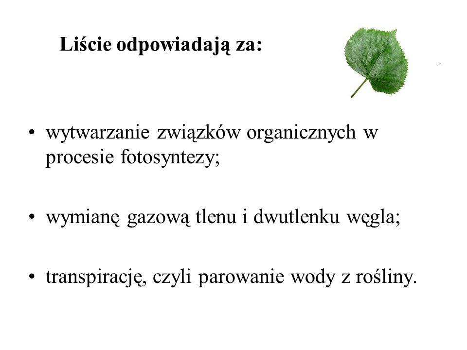Liście odpowiadają za: wytwarzanie związków organicznych w procesie fotosyntezy; wymianę gazową tlenu i dwutlenku węgla; transpirację, czyli parowanie wody z rośliny.