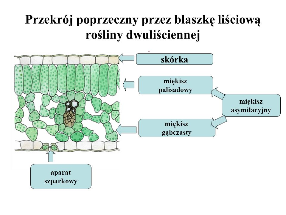 Przekrój poprzeczny przez blaszkę liściową rośliny dwuliściennej kl aparat szparkowy skórka miękisz palisadowy miękisz gąbczasty miękisz asymilacyjny