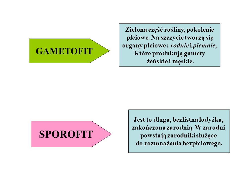 SPOROFIT GAMETOFIT Zielona część rośliny, pokolenie płciowe. Na szczycie tworzą się organy płciowe : rodnie i plemnie, Które produkują gamety żeńskie